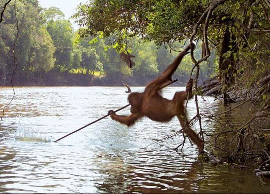 Orangutan Tool Use Fishing