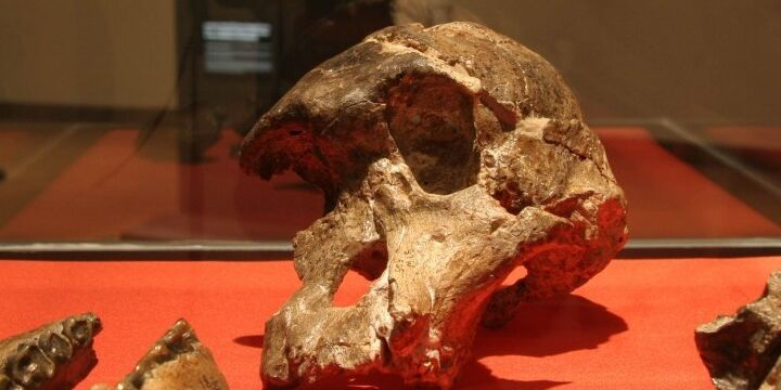 Evolution Australopithecusafricanus Evolution
