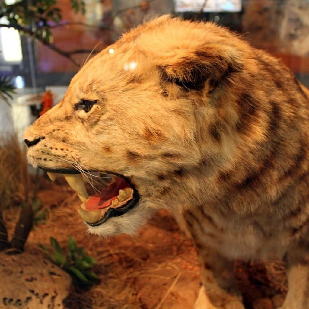 Sabre Tooth Cat