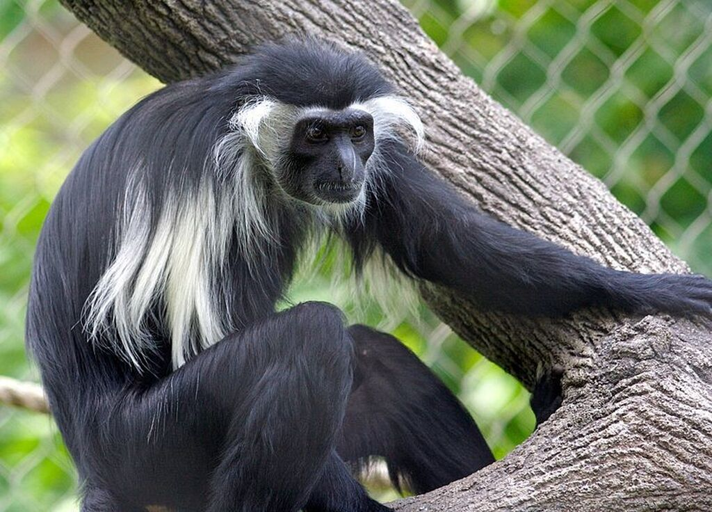800Px Colobus Angolensis