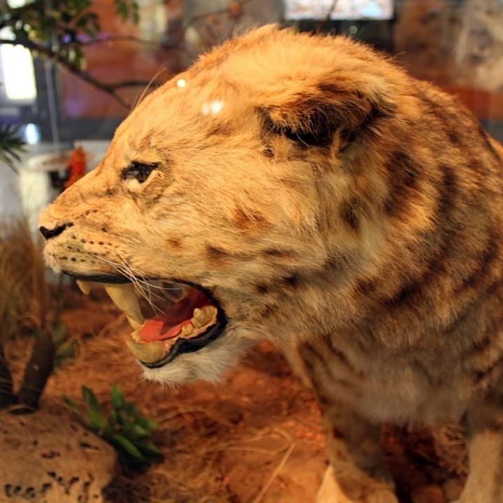 Dinofelis Hominid Hunter Or Misunderstood Feline News